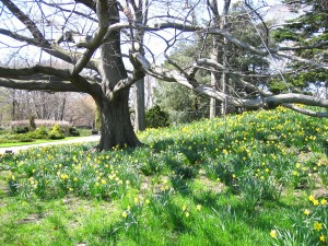 Daffodil Hill in Brooklyn