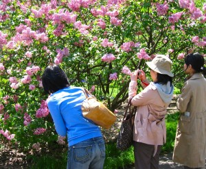 Visitors greet the lilacs at the Brooklyn Botanic Garden. Photo by Pam McAllister